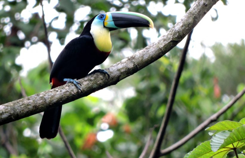 Cithron throated Toucan – Paujil Dec 2014 (1)