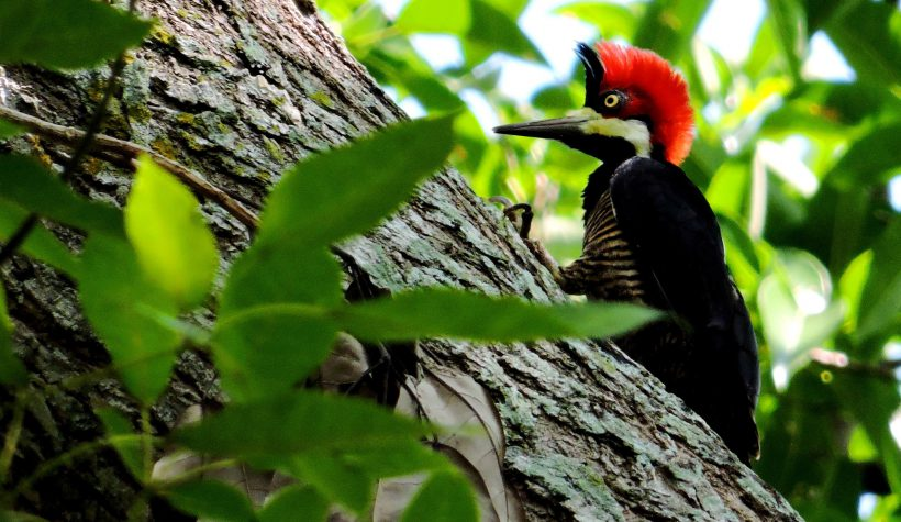 Crimson-crested Woodpecker – Cartagena