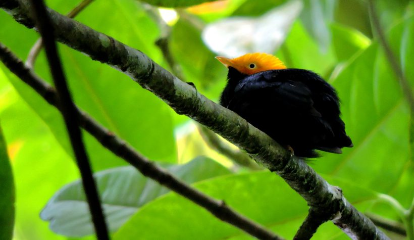 Golden-headed Manakin – Colombia April 2015 (5)