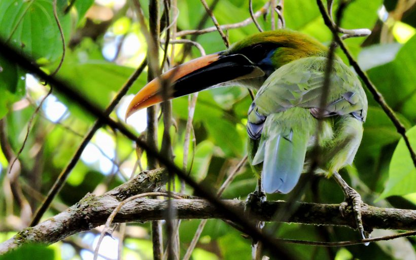 Groove-billed Toucanet q (2)