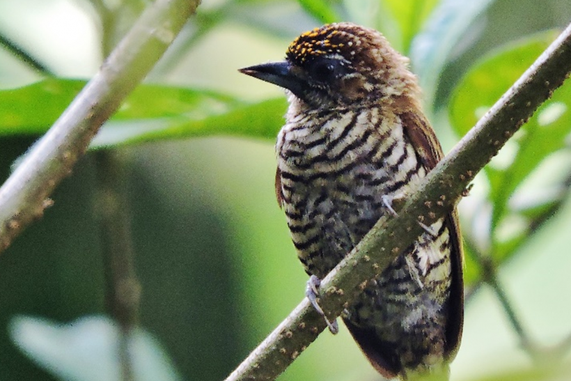 Orinoco-birding-003