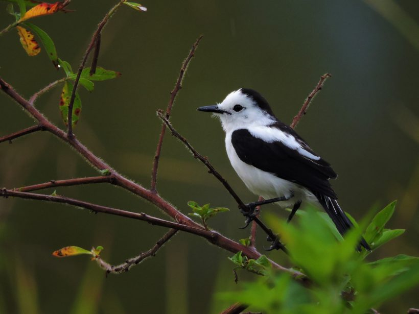 Pied Water-Tyrant – Paujil NR July 2015