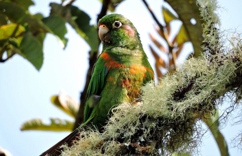 Santa Marta Parakeet – Santa Marta – Nov 2014