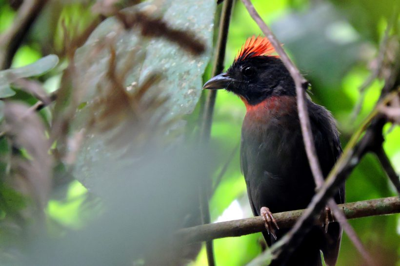 Sooty Ant-Tanager – Argentinos Marzo 2015
