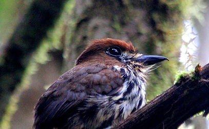 Colombia Highlands Birding-2683_3187_s_4_2