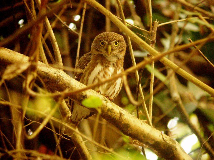 Ferruginous Pygmu Owl